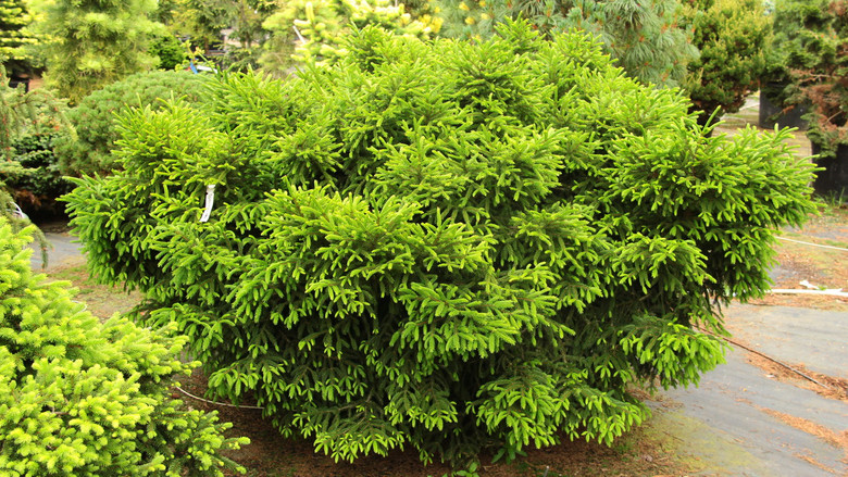 Small, dark green needles densely cover this dwarf, globose form of Oriental spruce. The slow growth and tough nature make it a great addition to the rock garden or trough.