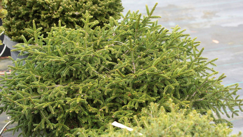This prostrate oriental spruce tends to mound and spread, eventually forming a flat-topped spreader. Small needles that are very dark green!