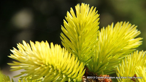 A dwarf green form with a creamy-gold tipped needles on gray-green interior foliage. Bright yellow new growth in spring.