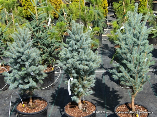 This incredibly narrow selection of Colorado Spruce has an exceptional bright-blue color. An excellent accent plant for any landscape.