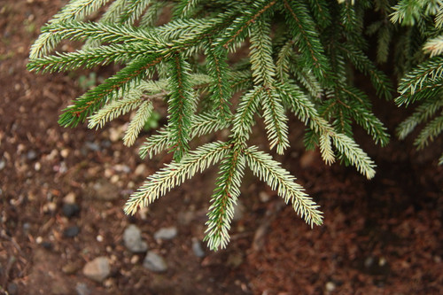 A dwarf variety with unique coloring that excels in the shade.  In the shade, the needles have creamy-white tips contrasting the dark green interior foliage.  An incredible color year-round, one of our favorites!  Some nurseries have changed the name or sell it as  'Sulphur Flush' - we have another Picea orientalis cultivar with that name similar to 'Aureospicata' but is slower growing and has sulphur-yellow spring foliage.  The cream needle tips can burn in full sun, so we strictly recommend using this plant in partial to nearly full shade.