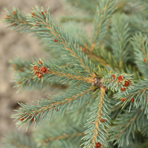 A broad conical form with blue-green foliage. Lighter color new growth looks like hanging fingers, extremely unique for a Colorado spruce. Discovered by Richard Haslebacher of Woods Creek Horticultural, LLC. as a chance seedling.