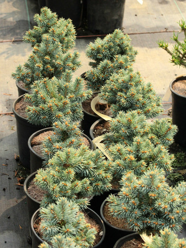 This dense, globose spruce has beautiful bright blue foliage and prominent, orange-brown buds. A lovely addition to a rock garden or other dwarf conifer landscape.