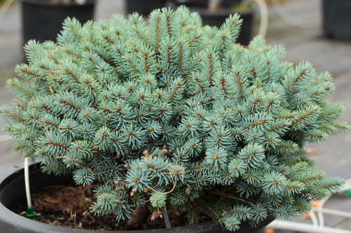 This dense, mounding blue spruce has a very slow growth rate, making it an ideal rock graden plant with a fabulous color!