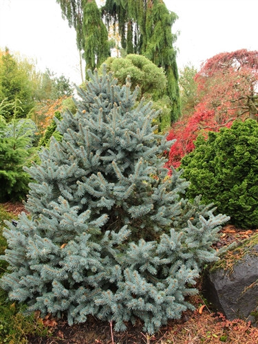 A conical dwarf with dense branching. Is rather irregularly shaped when young. Gray-green needles with silver-blue new growth. Nice blue and green tones, and it is a nice introduction, but it doesn't remind me of a rainbow.