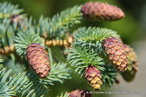 Bright blue foliage is accented by numerous cones at the branch tips. Cones emerge a reddish color, fading to brown by late spring.