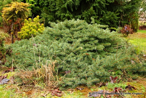 """A spreading Colorado spruce that won't grow more than a foot tall. The name means """"green table"""" in Spanish. Great rich green foliage."""
