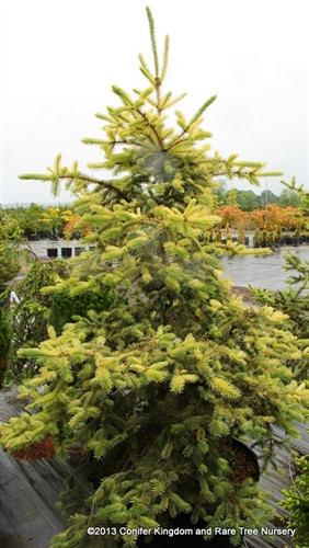 A mid-sized pyramidal conifer with green foliage and creamy-green new growth. Foliage appears bleached at its peak season of coloring giving the tree a straw-like resemblance.
