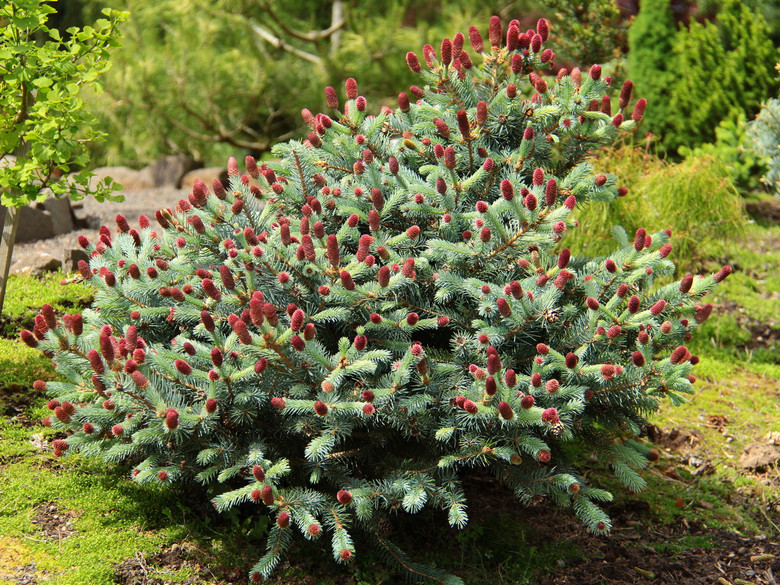 Ruby Teardrops is among the most blue of the dwarf Colorado spruces, but the color display is even more spectacular when dozens of ruby-red cones emerge from each branch tip in spring even on young plants!