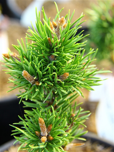 Light-green needles on this compact, pyramidal pine are a light green color. A dense variety that is difficult to find.