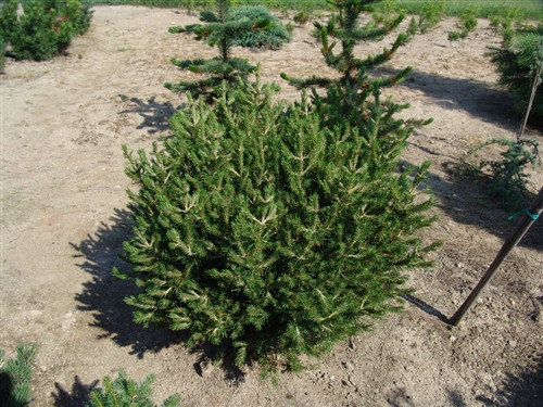 A dwarf globose conifer with very short dark green needles.It was selected as a seedling by Al Fordham and Humprey Welch at Boston, Massachusetts in 1979. It was one of the four seedlings that were named after Native American Tribes.