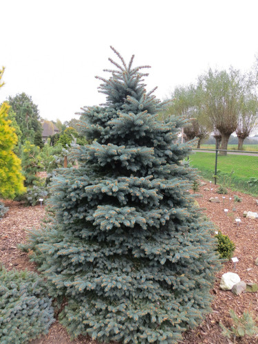 This dense, pyramidal tree has bright, blue-green foliage. Its compact growth, tidy habit and beautiful color make it an excellent dwarf tree for any landscape.
