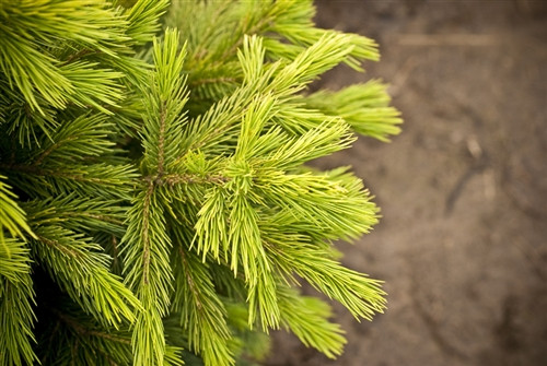 A dwarf form of a little-known species native to central Asia, this rare spruce has sharp, dark gray-green needles, light brown buds and purple-brown cones. The dense, upright conifer forms an evergreen cushion, slightly taller than wide.
