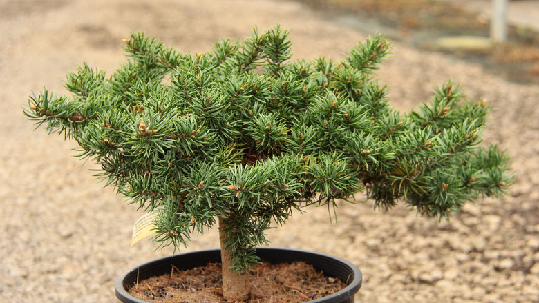 A dense, prostrate form of Jack pine with emerald green needles, this slow-growing seedling selection can drape down a wall or spread out in a low mass on a bank. Even after 30 years, a very old specimen only gets about 3' tall in the center and 15' wide.