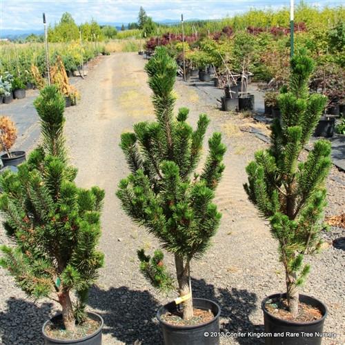 Pinus contorta var. latifolia 'Fastigiata'