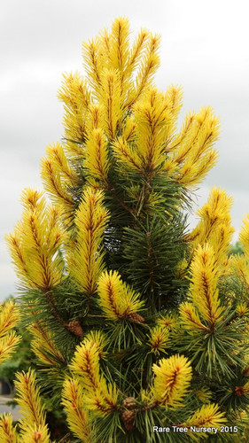 This stunning, columnar pine has brilliant, golden-yellow candles that last for more than a month in spring, contrasting marvelously with rigid, dark-green needles. This variety is a must-have for any conifer collector!
