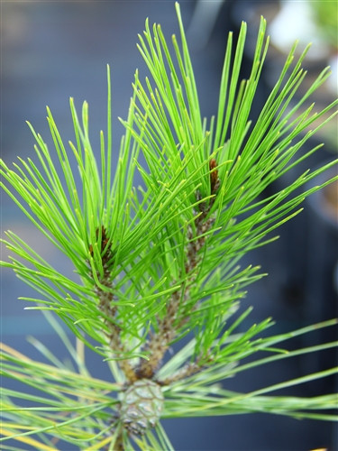 Thin, rich green needles are fairly long on this broad, globose pine. A nice slow-growing variety that can be easily pruned.