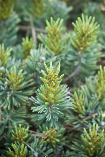 "A globose to conical form with short green to gray-green needles. Only grows about 2"" a year - a Jerry Morris introduction named after the Comanche Native Americans."