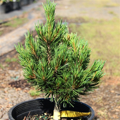 """A globose to conical form with short green to gray-green needles. Only grows about 2"""" a year - a Jerry Morris introduction named after the Comanche Native Americans."""
