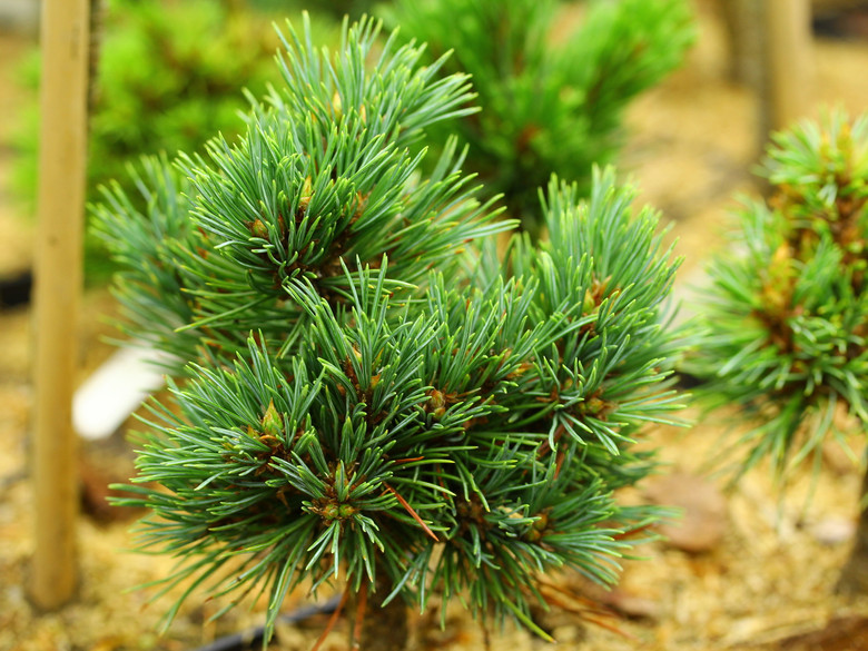 Blue-green needles on this compact pine have a soft texture. Found as a witch's broom by Jerry Morris.