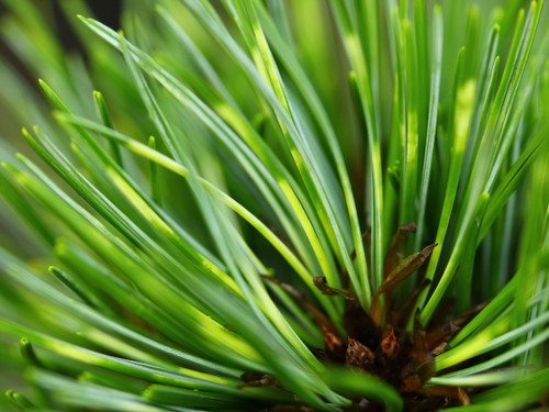 A fantastic variety of the extraordinary Korean pine, this upright, variegated evergreen has long, soft blue-green needles banded with yellow. The 4-5 needles have a downward turn like those of 'Jack Korbit and produce a graceful, weeping look. Variegat