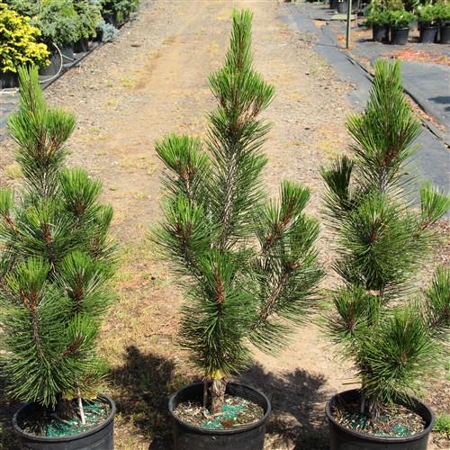 Pinus heldreichii (leucodermis) 'Satellit' _ Bosnian Pine _