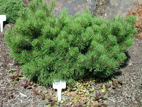 This low, spreading pine has thick, dark-green needles. Its dwarf growth rate and low-growing habit make it one of the few pines that can be used as a groundcover.