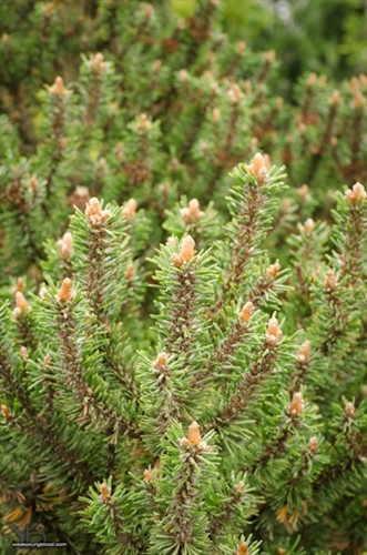 The open globose form is unique for a mugo. Unlike most bun or globose mugo pines, the opening branching gives a great alpine look which makes it look so much older than it is. That said, this is not a fast grower.