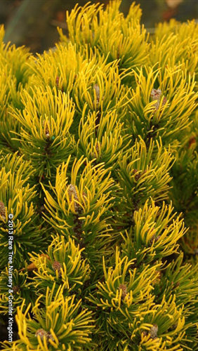 This golden pine got its name from the Biblical sea port, Ophir, known for its gold exports. A fascinating and unique name for a beautiful plant that really stands out-especially in winter.