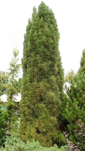 An Austrian pine with a very nice columnar form. Branching is dense and needles are shorter than species.