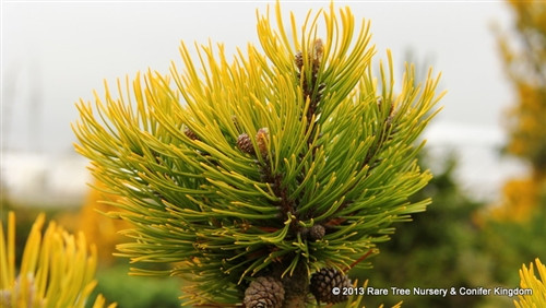 A great new mugo with brilliant golden winter color. Needles turn green in summer.