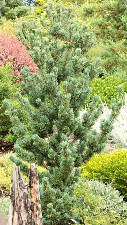 Aoi is one of our favorite Japanese white pines. Its slender habit and unmatched blue color make it a perfect choice for many locations in the garden. The ornamental cones produced at a young age are pretty cool too!