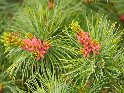 An irregular, pyramidal conifer with bright blue needles. Also known as 'Iseli Select'.