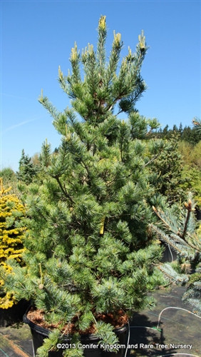 This superior selection of Japanese white pine combines dazzling silver-blue foliage with a compact, narrowly pyramidal form. In spring, the new green candles are accented with a heavy production of creamy-peach color male pollen cones.