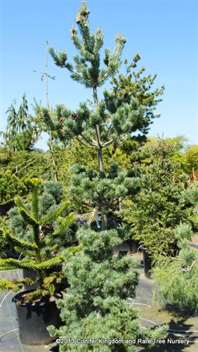 Curved, short, bright blue needles and a narrow, upright form make this slow-growing variety of Japanese white pine a real winner. Layered secondary branches create attractive tiers of foliage, sort of like the floors of a narrow building.