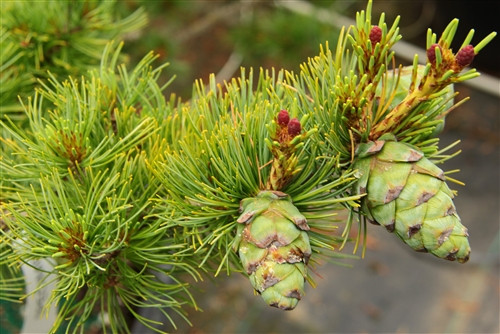 An open pyramid for with green to blue-green needles. Cones heavily at a young age. Is prized in bonsai and Asian landscapes for the black warts it develops on older bark.