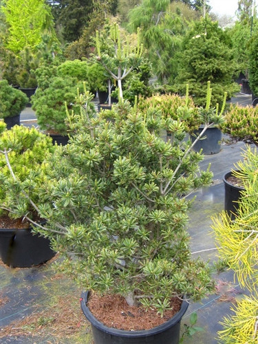 A graceful, small conifer with a narrow upright habit and short, up-curved, silver-green needles, this form of Japanese white pine is a great choice for small spaces. Many persistent cones at a young age add to the beauty of the showy accent plant.