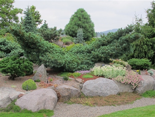 Each one of these irregular, upright pines is unique. Whether maturing to a low, wide shape with multiple leaders or developing a more dense, prostrate form, the windswept character of the slow-growing pine lends a distinctive sculptural quality to the garden. Small blue-green needles are soft and somewhat silvery.  Also known as 'Fuku zumi' and 'Fuku zu mi.'