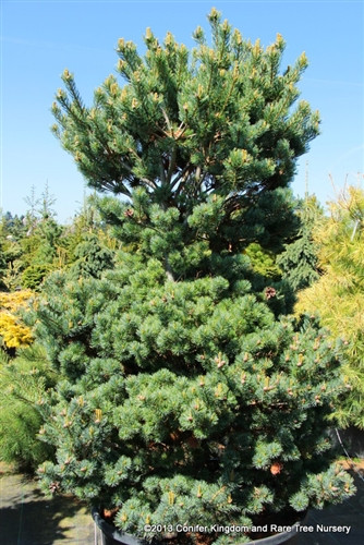 Strong growth, an informal upright form and twisted silver-blue needles combine to make this pine a beautiful addition to the landscape.  In spring, light green new growth adorned with light purple juvenile cones is fantastic.  Also known as 'Gyoku sho hime.'