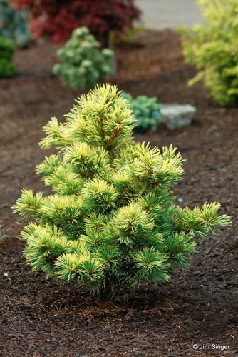 This slow-growing Japanese white pine is just right for lending an intense splash of gold to the winter landscape. Its informal upright habit produces multiple leaders and a unique, sweeping form. Bright golden needles attain optimum color when planted in partial shade.