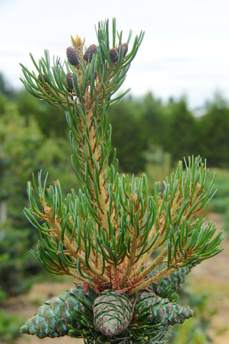 An attractive layered look comes from this pine's horizontally growing secondary branches.  The tiered effect is accentuated by heavy cone production, which weighs down the ends of the branches and gives the tree an especially aged look.  Bluish needles have silver striations.