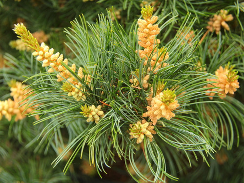 This dense pyramidal pine with silver-blue foliage makes an excellent choice for the landscape. Light yellow-green spring candles open and mature to short blue needles accented with silvery lines. Very full and thick, the plant grows about 8 inches a year.