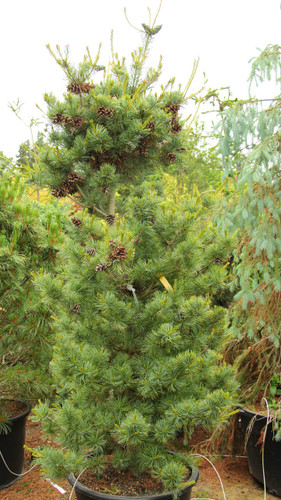 Gray-green needles with silver-blue highlights. Very clean looking foliage and reliable cones which persist.