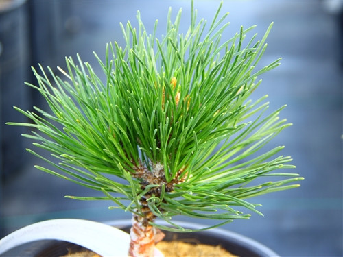 A compact, globose pine with dark-green, long needles. Found as a witch's broom by Scott Antrim in South Carolina. A unique species that is uncommon in production!