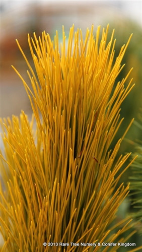 A conical red pine with brilliant golden foliage.  Needles are yellow-gold at the tips and bright green at the interior.   Plant glows summer and winter.  Performs best in a colder climate.  Thick new growth and limited branching make it difficult to propagate - that said, it's worth it!