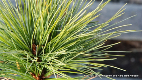 Soft, blue-gray needles on this dwarf, mounding pine are very distinctive. This low-growing conifer was introduced by Sidney Waxman.