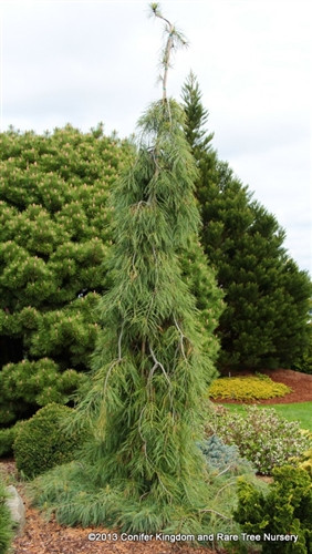A weeping form with long light-green needles. The branches are incredibly pendulous - they just hang like a waterfall - which is why it is named after the world's tallest waterfall in Venezuela. Introduced by Iseli Nursery, Boring, OR.