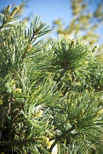 Densely-set, greenish-blue needles with a silver-gray cast are soft to the touch and very thin. This dwarf pine will eventually develop into a compact pine with a pyramidal form.