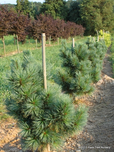 Slow-growing branches on this dwarf pine have blue-green needles of irregular lengths, all of them being shorter than the species.