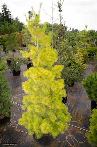 Gold decorates this outstanding pine all year. In the cold of winter, the brilliant golden hue is brightest at the needle tips. In summer, needles change to a wonderful soft golden-green unlike other pines. Globose when young, the medium-sized tree develops a beautiful conical form. Introduced by Greg Williams at Kate Brook Nursery in Vermont. We love this variety.